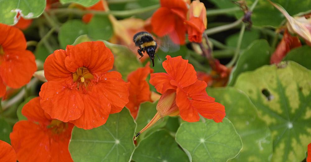 nasturtium with bee pollinator