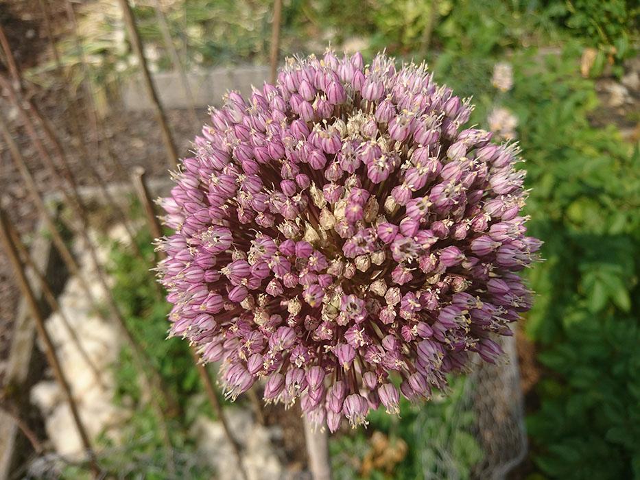 flower of perennial leek