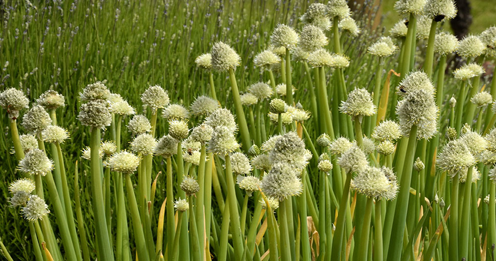 perennial onions