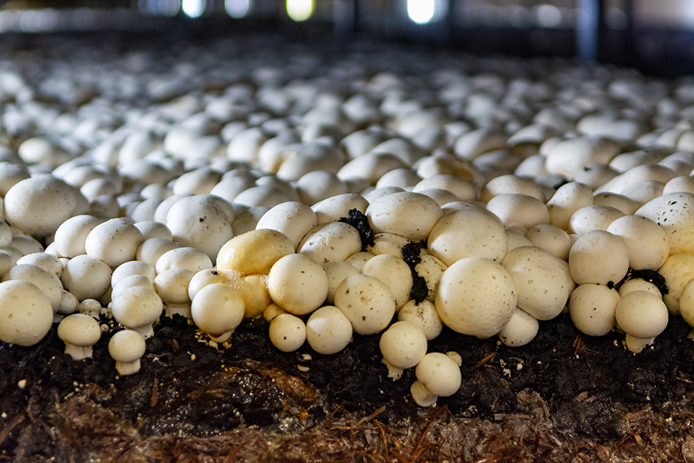 Commercial mushroom production